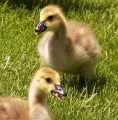 goslings at play   (Explored) photo by MissyPenny
