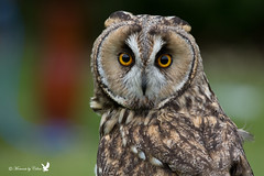 Long-eared owl 1 photo by Canon Queen Rocks (430,000 + views)