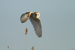 Barn Owl, Papercourt Meadows photo by craig.denford