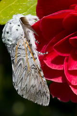 Puss moth on red camellia in my Garden photo by Mr Bennett Kent (Back from Mull and back to work!)
