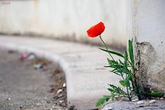 so fuckin' heroic (yet another poppy) photo by gicol