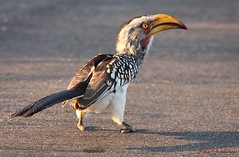 Southern Yellow-billed Hornbill (Tockus leucomelas) enjoying a good meal... photo by Rosa Gamboias