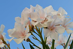 Oleander flowers (explored h. #20) photo by Ramona R*** - Visual Metaphors