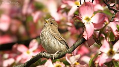 Sparrow...err House Finch in Paradise photo by NYC Wild