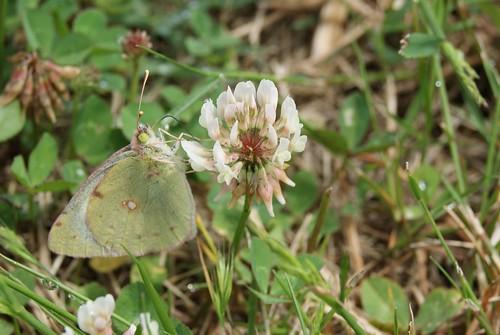 papillon le Soufré