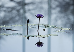 waterlily photo by * Yumi *