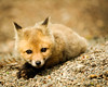Baby Red Fox (kit) Vulpes vulpes photo by PixelHawk