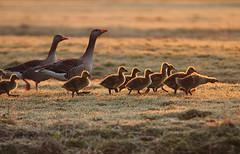 Golden Goslings photo by Pepijn Hof