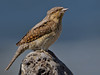 Wryneck photo by MOZBOZ1