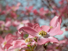 Pink Dogwood - Happy Mother's Day photo by GAPHIKER