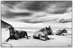 Cattle on beach photo by Hstogrm