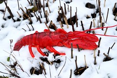 red lobster in the snow photo by Wackelaugen