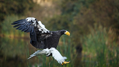 Steller's-Sea-Eagle photo by TimerTom