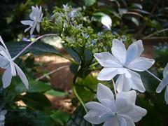 H. macrophylla 'Sumida-no-Hanabi'