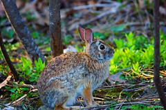 Mr. Bunny Rabbit photo by JustBeingMeee