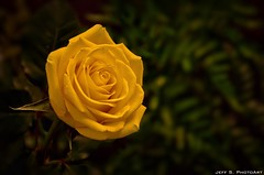 A single rose can be my garden... a single friend, my world photo by Jeff S. PhotoArt