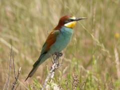 Bee-eater, Castro Marim (Portugal), 27-Apr-06