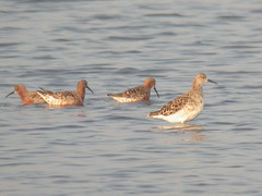 Ruff, Castro Marim (Portugal), 28-Apr-06