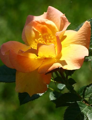 Second rose