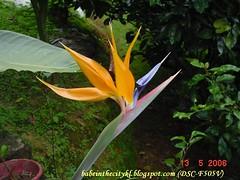 ch - cv bird of paradise 02