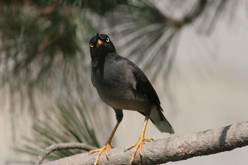 Jungle Myna,Binsar, Uttaranchal, May 2006 (K.Mohan)