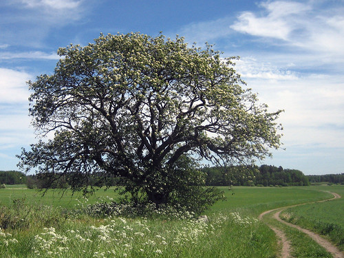 That Old Tree (June 17th)