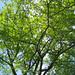I love oaks