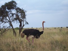Ostrich in Nairobi National Park