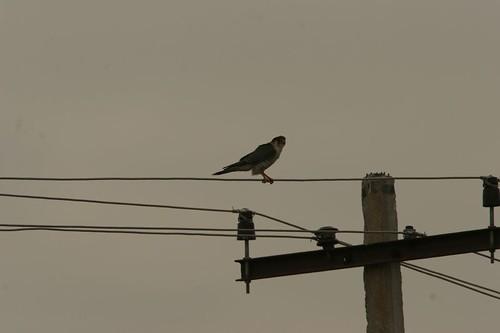 IMG_0118 peregrine falcon