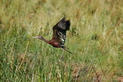 White-faced ibis 2