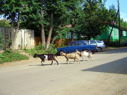 Козлы \ Goats