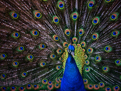 Obligatory Zoo Peacock photo by Referenceace--Simplifying?