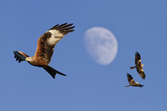 Red Kite Moon Jan 2014 photo by Lakes4life