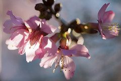 day 349 - cherry blossoms photo by demerson2