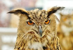 Eagle Owl. 'bubo bubo' photo by Paul (Barniegoog)