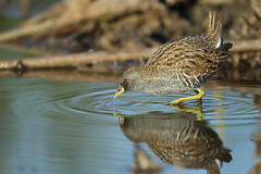 Australian Spotted Crake photo by 0ystercatcher