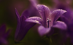 Bellflowers photo by majestiele