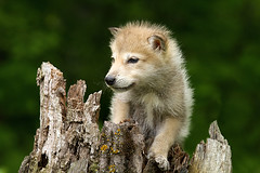 Grey wolf pup photo by debbie_dicarlo
