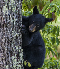 Black Bear Cub photo by stan hope Off and on.