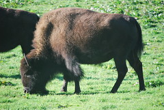 Bison of Golden Gate Park