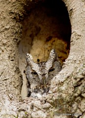Eastern Screech Owl- Megascops asio photo by MattSullivan