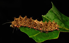 Zygaenid Day-flying Moth Caterpillar (Zygaenidae) photo by John Horstman (itchydogimages, SINOBUG)