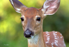 Fawn Close Up photo by Terry Aldhizer
