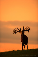 Red Deer Calling photo by Old-Man-George