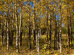 Aspen Trees photo by Batikart