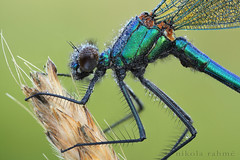Field stack: Banded Demoiselle photo by Nikola Rahme