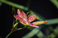 Lily photo by giovanibr