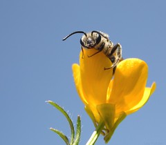 Bee in a Buttercup photo by Lisa Holder NC