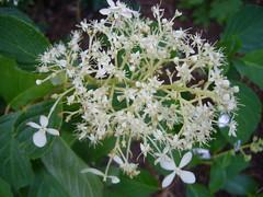 H. paniculata ?