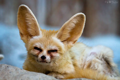 fennec photo by Cloudtail